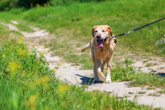 labrador retriever at the leash walking on a country path
